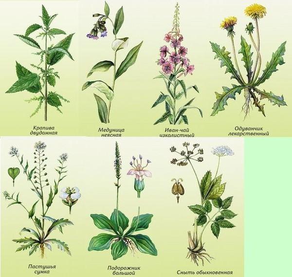 есть травянистые растения названия с картинками тех пор